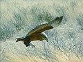 Bateleur, juvenile, Kalahari (47341334).jpg