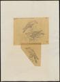 Baza reinwardtii - 1863-1876 - Print - Iconographia Zoologica - Special Collections University of Amsterdam - UBA01 IZ18200278.tif