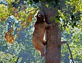 Bear climbing a tree in Libearty Bear Sanctuary 32147519364 cropped.jpg