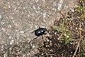 Beetle near Carn Veslan (6847).jpg
