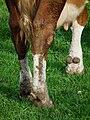 Beine und Klauen einer Milchkuh.JPG