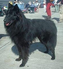 Belgian Shepherd Dog Pictures