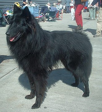 Canine terminology - Image: Belgian Groenendael 600