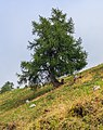 Bergtocht van Vens naar Bettex in Valle d'Aosta (Italië). Europese lariks (Larix decidua) langs bergpad 01.jpg