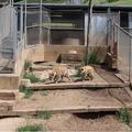 Berkeley Hills hyenas.png