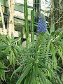 Berne botanic garden Echium candicans.jpg