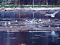 Berounka, Kazín, ptáci na řece.jpg