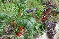 Beta vulgaris subsp. vulgaris (Swiss chard).JPG