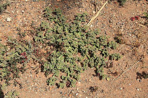 Betancuria village - Calle General Primo De Rivera - Mesembryanthemum crystallinum 02 ies