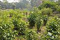 Bhesaj Udyan - Agri-Horticultural Society of India - Alipore - Kolkata 2013-01-05 2306.JPG