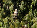 Bhutan White Pine.jpg