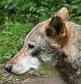 Białowieski Park Narodowy wilk.JPG