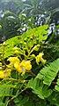 Biancaea sappan flower buds.jpg