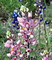 Big bend pink bluebonnets.jpg