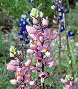 Big bend pink bluebonnets