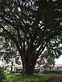 Big tree in Cikini Hospital Park.jpg