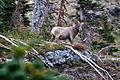 Bighorn Sheep, Grinnell Glacier Trail (4120046660).jpg
