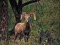 Bighorn Sheep in Field-Gifford Pinchot (23267372083).jpg