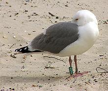 Bird ringing - Wikipedia