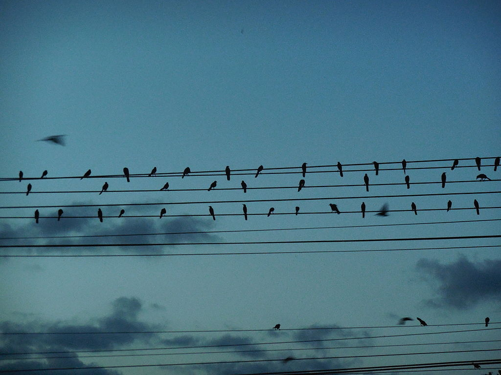 File Birds Writing A Song In The Electric Wires Jpg Wikimedia