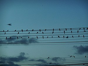 Birds writing a song in the electric wires.JPG