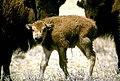 Bison calf (5673476125).jpg
