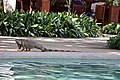 Black-Spiny tail iguana (24023876454).jpg