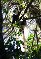 Black-and-white colobus Kilimanjaro.jpg