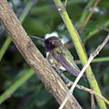 Black-chinned Hummingbird (13917590288).jpg