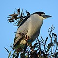 Black-crowned Night Heron (4631771548).jpg