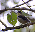 Black-goggled Tanager.jpg