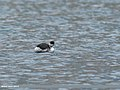 Black-necked Grebe (Podiceps nigricollis) (25239246267).jpg