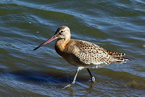 Black-tailed godwit - Non-breeding plumage (with pink bill)