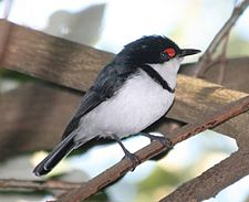 Black-throated Wattle-eye (Platysteira peltata) from side.jpg