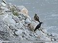 Black Kite (Milvus migrans) & Large-billed Crow (Corvus macrorhynchos) (50615189827).jpg