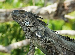Black Spiny-tailed Iguana. Ctenosaura similis (43273788601).jpg