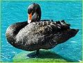 Black Swan, Palm Desert 2-22-14 (12756071804).jpg