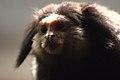 Black Tuft Eared Marmoset (15304923151).jpg