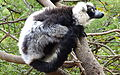 Black and White Ruffed Lemur 2.JPG