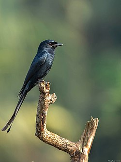 Black drongo @ iritty.jpg