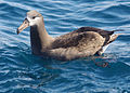 Black footed albatross reesman odfw (14997985814).jpg