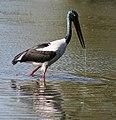 Black necked Stork I2-Bharatpur IMG 8533.jpg
