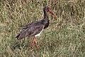 Black stork (Ciconia nigra) India.jpg