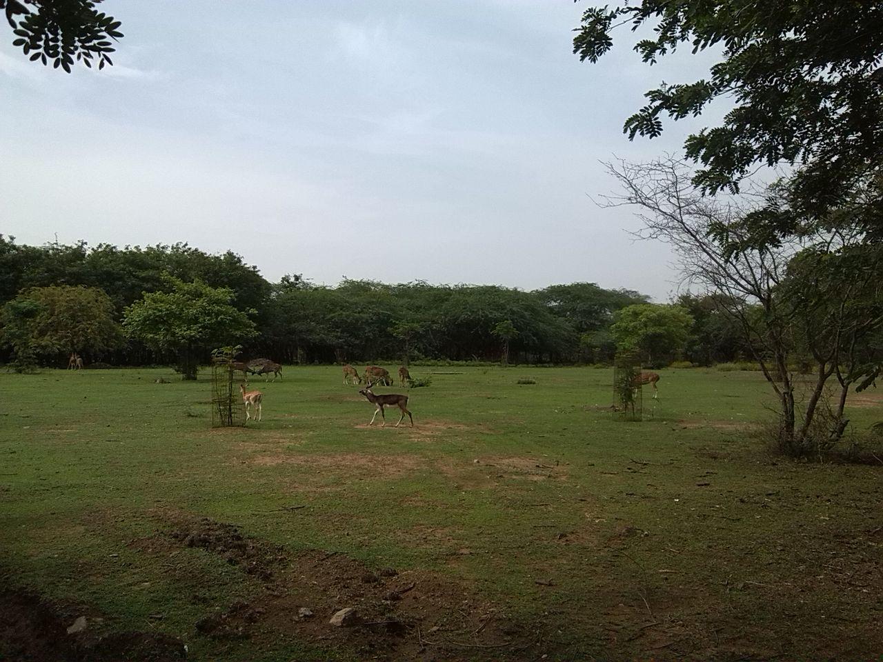 IIT Madras Wikipedia: File:Blackbuck Deer With Other Deers At Iitm.jpg