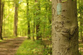 Buckeye Trail - Image: Blaze on beech tree North Chagrin Metropark Buckeye Trail