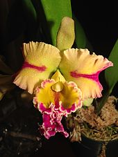 Orchidaceae - Wikipedia