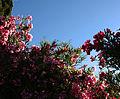 Blossoming Oleander (3563314423).jpg