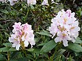 Blossoming rhododendron2.jpg