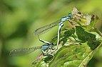 Blue-tailed damselfies (Ischnura elegans) mating female violacea.jpg