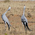 Blue Cranes (Anthropoides paradiseus) couple calling ... (32885075871).jpg